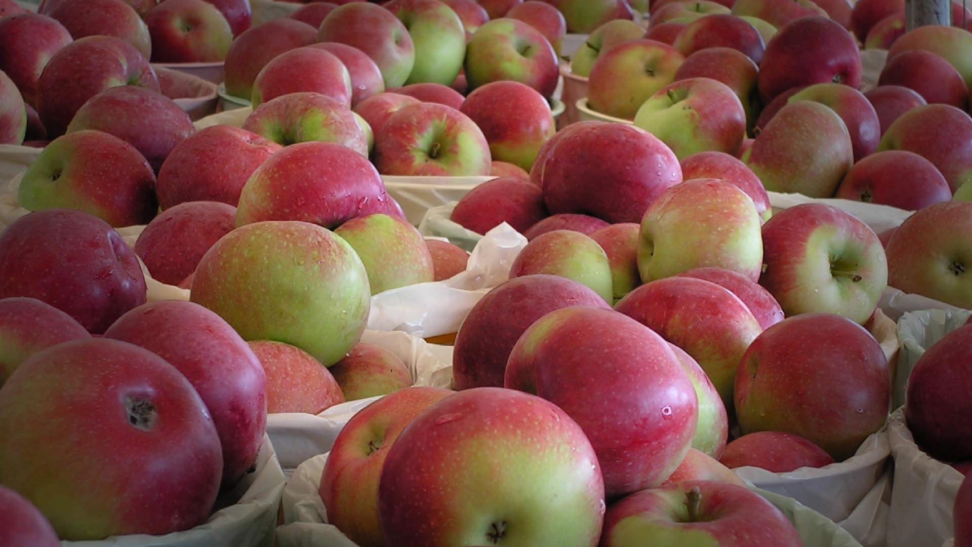Pommes du verger de La Vieille Cave à Saint-Hilaire, Rive-Sud de Montréal